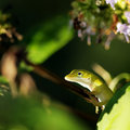 Anole Stock Photos