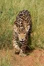Anpirschender Jaguar Cub Lizenzfreies Stockbild