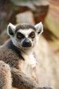 Anstarren Lemur Stockbild