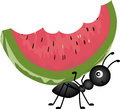 Ant carrying watermelon scalable vectorial image representing a isolated on white Royalty Free Stock Photo