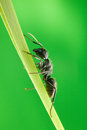 Ant climb on blade of grass Stock Photography