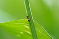 Ant climbing green grass a close up of an a Royalty Free Stock Image