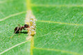 Ant collects honeydew from aphids herd on leaf Royalty Free Stock Photo