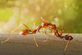 Ant fight in the early morning Royalty Free Stock Image