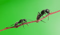 Ant follow ant macro of two ants climbing on tree twig over green background Stock Image