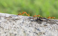 Ant forage for food motion of Stock Images
