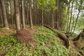 Ant hill in summer wood a landscape Stock Photography