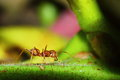 Ant an insect in the family formicidae rank hymenoptera ants have nesting is a large kingdom Royalty Free Stock Image