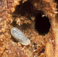 Ant larva, extreme close up Royalty Free Stock Photography