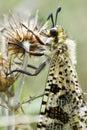 Ant-lion macro Foto de archivo