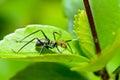 Ant-mimic Cricket Royalty Free Stock Photo