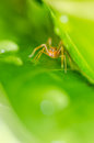 Ant mimic spider in the nature or in the garden Stock Photography