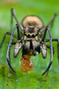 Ant mimic spider with prey Royalty Free Stock Photo