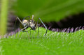 Ant mimic spider walking on the leaf Stock Images