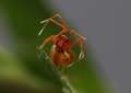 Ant-mimicing Spider