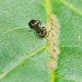 Ant pastures aphids group on leaf Royalty Free Stock Photo