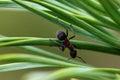 Ant on pine tree needles