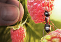 Ant raspberry morning Royalty Free Stock Photo
