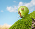 Ant Sisyphus rolls berry upgrade, concept Royalty Free Stock Image