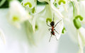 Ant on snowdrop flowers closeup of european forest flower Stock Image