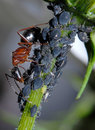 Ant Tending Aphids Royalty Free Stock Photo