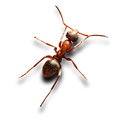 Ant on white single background Royalty Free Stock Image