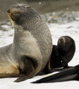 Antarctic Fur Seal and Pup Royalty Free Stock Photo