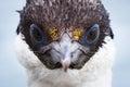 Antarctic wildlife blue-eyed shag Royalty Free Stock Photo