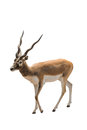 Antelope african isolated on white Stock Photography