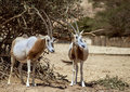 Antelope the arabian oryx oryx leucoryx females of in wild life nature reserve hai bar yotvata miles north of eilat israel Royalty Free Stock Photos