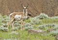 Antelope buck this is an in the high country mountains of wyoming Royalty Free Stock Image