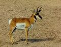Antelope Buck Royalty Free Stock Photo