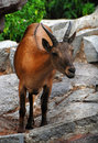 Antelope cloven hoofed animal a resident of the zoo very sad look in his Royalty Free Stock Photo