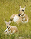 Antelope cub with Mother Stock Images