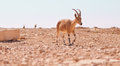 Antelope in desert Royalty Free Stock Photo