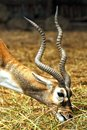 Antelope eat grass Royalty Free Stock Image