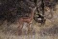 Antelope Gerenuk  (Litocranus Walleri) Royalty Free Stock Photo