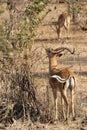 Antelope at Ruaha national park ,Tanzania east Africa. Royalty Free Stock Photo