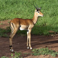 Antelope impala Royalty Free Stock Photos