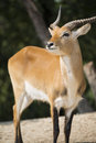 Antelope in nature ready to run Royalty Free Stock Photo