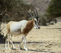 Antelope oryx in israeli nature reserve a herbivorous the arabian leucoryx has a white coat and straight sharp horns it is Stock Photos