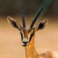 Antelope portrait in the zoo Royalty Free Stock Photos
