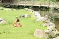 Antelope red lechwe kobus leche lying on grass by river with bridge Royalty Free Stock Photos