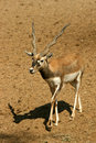 Antelope Series Blackbuck Royalty Free Stock Images