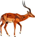 Antelope Series Impala. Stock Photography