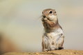 Antelope squirrel the harris s stanidng on the rock Royalty Free Stock Image