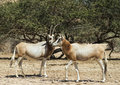 Antelopes in nature reserve antelope the arabian oryx oryx leucoryx biblical hai bar km north of eilat israel Stock Image