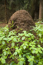 Anthill in forest Royalty Free Stock Photo