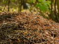 Anthill in forest with red ants Stock Images