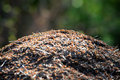 Anthill in forest short depth of field on top Royalty Free Stock Photo